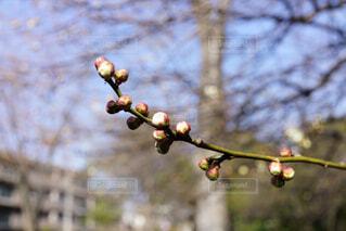 まだ蕾の梅の写真・画像素材[4367559]