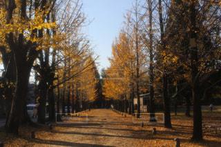 秋,紅葉,銀杏,銀杏並木,いちょう,稲沢