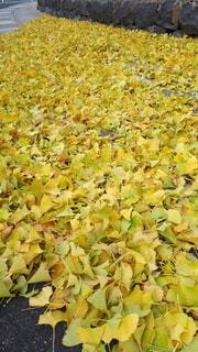 秋,散歩,黄色,葉,銀杏,路地