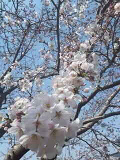 花,春,屋外,草木,桜の花,さくら