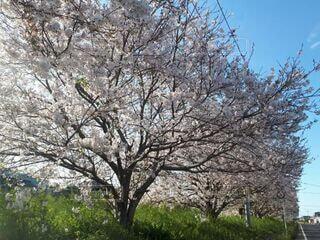 風景,春,屋外,ピンク,景色,満開,桜の花