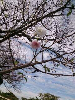 自然,空,花,春,動物,屋外,ピンク,白,青い空,樹木,桜の花,さくら,ブルーム,ブロッサム