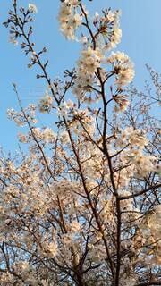 空,花,春,屋外,ピンク,青,樹木,草木,桜の花,さくら,ブルーム,ブロッサム