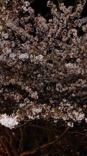 花,春,ピンク,夜桜,満開,樹木,桜の花,さくら,癒された