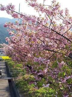花,春,屋外,ピンク,満開,樹木,草木,桜の花,さくら