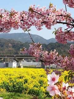 春日差しに桜と菜の花の写真・画像素材[4370181]