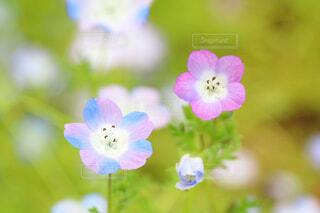 花,花畑,カラフル,ネモフィラ,草木,日比谷公園,フローラ,変わった色,可愛い色