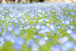 花,春,花畑,ネモフィラ,遠近感,日比谷公園,青の世界