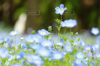 花,春,ネモフィラ,草木,日比谷公園,青の世界,背比べ,可愛い色