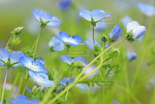 花,花びら,ネモフィラ,可憐,草木,日比谷公園,青の世界
