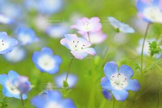 花,春,ネモフィラ,ワスレナグサ,可憐,草木,フローラ,可愛い色