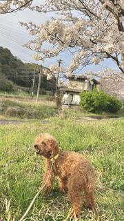 犬,春,桜,動物,屋外,茶色,草,トイプードル,草木