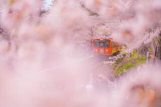桜,ピンク,電車,花見,霧,煙,桜祭り,桜のトンネル