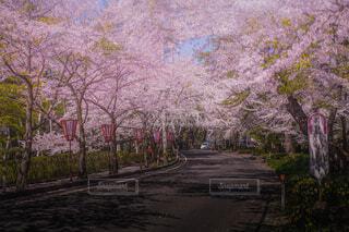 桜の木の写真・画像素材[4368916]