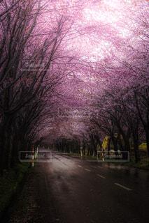桜,屋外,ピンク,樹木,桜の並木道,世界一の桜並木道