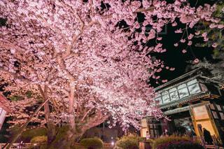 花,春,屋外,夜桜,樹木,ライトアップ,桜の花,ソメイヨシノ,さくら,ブロッサム
