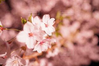 花,春,桜,夜桜,ライトアップ,クローズアップ,草木,さくら,ブルーム,ブロッサム