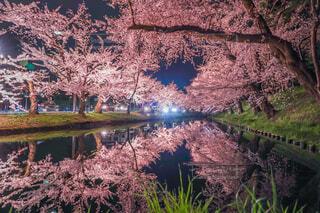 自然,桜,桜の名所,屋外,ピンク,水面,夜桜,反射,樹木,ライトアップ,リフレクション,弘前公園,青森県