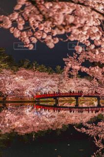 公園,花,春,桜,橋,桜の名所,ピンク,夜桜,樹木,ライトアップ,リフレクション,桜祭り