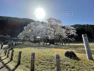 空,花,桜,景色,樹木