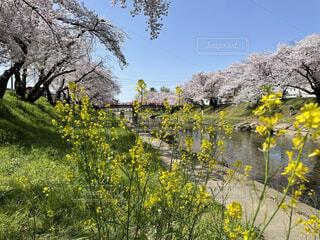 桜,菜の花,桜並木,川沿い