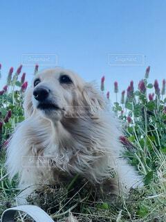 犬,空,花,動物,屋外,白,景色,ダックスフンド,ストロベリーキャンドル