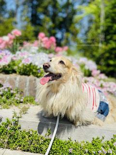 犬,花,動物,屋外,樹木,ダックスフンド
