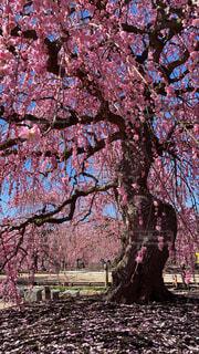 花,春,梅,プラム,鈴鹿,梅の花,枝垂れ梅,しだれ梅,鈴鹿の森庭園,シダレ梅