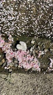 ハート型の石と梅の花弁の写真・画像素材[4373975]