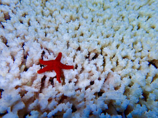 サンゴとヒトデの写真・画像素材[4369648]