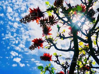 空,花,夏,屋外,青空,沖縄,樹木,デイゴ,草木