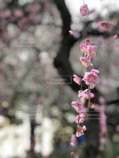 しだれ梅の写真・画像素材[4384470]
