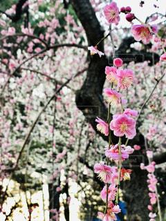 枝垂れ梅の写真・画像素材[4384475]