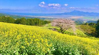 菜の花畑と桜の写真・画像素材[4386620]