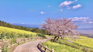 菜の花畑と桜の写真・画像素材[4386619]