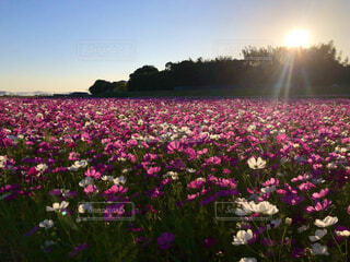 西陽とコスモス畑の写真・画像素材[4386654]