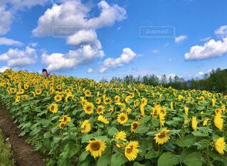 ひまわり畑の写真・画像素材[4386848]