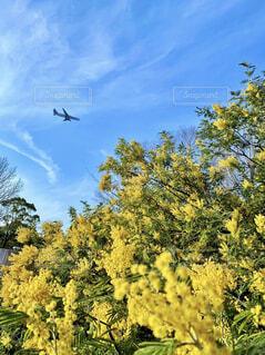 ミモザの木と飛行機の写真・画像素材[4386874]