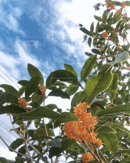 庭の金木犀の写真・画像素材[4386876]
