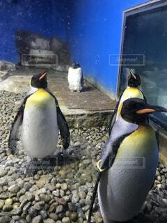 動物,鳥,かわいい,水族館,ペンギン,水鳥,キングペンギン,館内