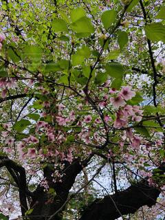 花,桜,屋外,ピンク,緑,光,葉桜,4月,ブロッサム,大宮公園,濃桃色