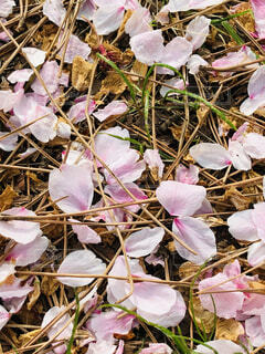 花,屋外,ピンク,花びら,散る,桃色,松葉,葉桜,ブロッサム,大宮公園