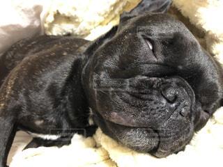 犬,動物,フレブル,フレンチブルドッグ,屋内,黒,寝顔,爆睡,気持ちいい,白目,睡眠中,いびき