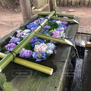 紫陽花が浮かぶ手水舎の写真・画像素材[4370763]