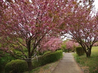 自然,花,春,屋外,ピンク,草,樹木,草木,桜の花,さくら,ブルーム,ブロッサム