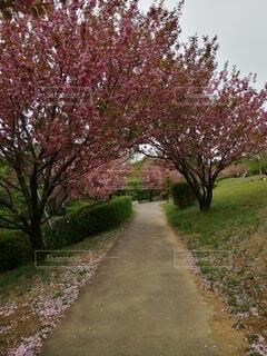 自然,空,公園,花,春,屋外,ピンク,草,樹木,草木,ブロッサム,パス
