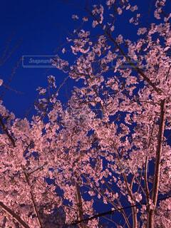 花,春,桜,夜桜,樹木,ライトアップ,岐阜,草木,Spring,cherryblossom