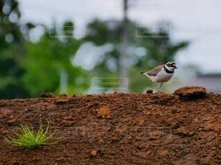 自然,動物,鳥,屋外,とり,地面,水鳥,千鳥,トリ,コチドリ