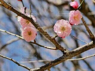 花,春,屋外,ピンク,赤,梅,樹木,ブルーム,ブロッサム