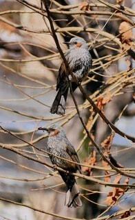 動物,鳥,野生動物,屋外,樹木,キツツキ,小鳥,ヒヨドリ,バードウォッチング,嘴